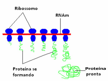 Os ribossomos são as organelas responsáveis pela síntese de proteínas