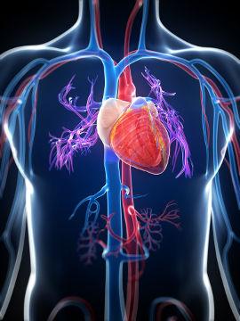O coração é responsável por bombear o sangue para o restante do corpo