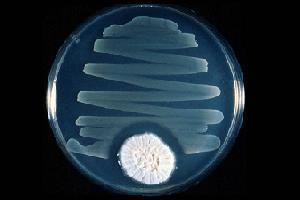 Bacterias <i>Staphylococcus aureus</i> tendo seu desenvolvimento<br>prejudicado devido a secreções do fungo penicillium.