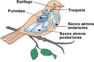 As aves respiram por meio de pulmões, que apresentam uma estrutura diferente da dos outros vertebrados