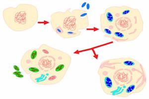 Teoria endossimbionte para o surgimento das mitocôndrias e cloroplastos.