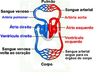 O coração das aves é dotado de quatro câmaras (dois átrios e dois ventrículos)