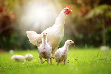 A plumagem da galinha é um caso de epistasia