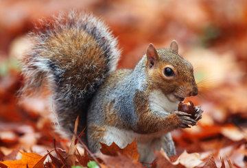 Os esquilos apresentam capacidade de realizar hibernação