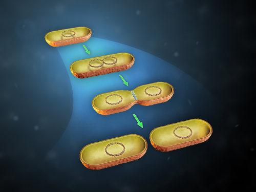 A reprodução das bactérias é por meio da divisão binária