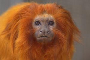 O mico-leão-dourado possui coloração característica