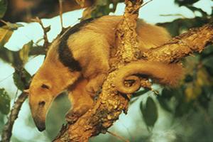 Tamandua tetradactyla: animal encontrado na maior parte da América do Sul.