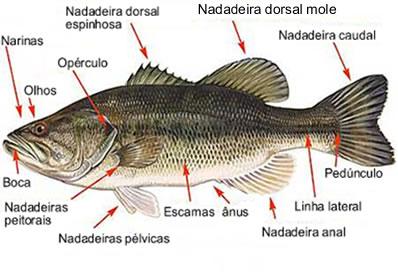 Os osteíctes são peixes ósseos muito conhecidos e numerosos na natureza