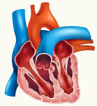 O coração humano, como o de outros mamíferos, possui quatro cavidades