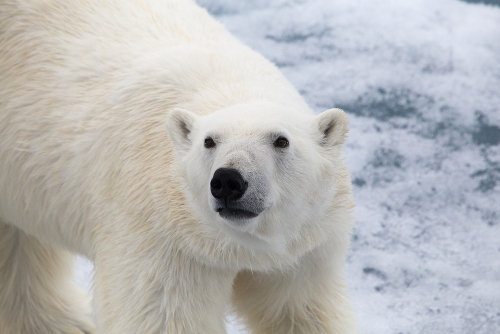 O urso-polar é um animal encontrado no Ártico