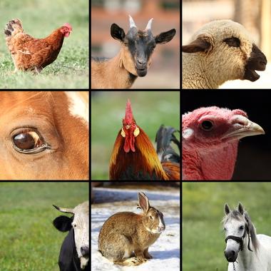A pecuária no Brasil destaca-se na criação de aves, bois, porcos e outros animais