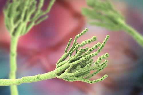 O fungo do gênero Penicillium é responsável pela produção da conhecida penicilina