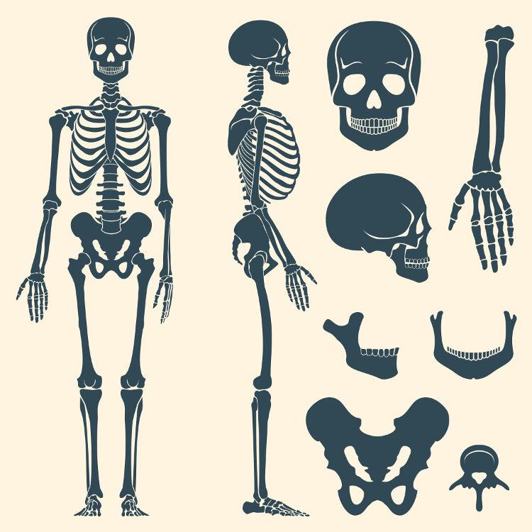 O esqueleto humano, além de garantir nossa movimentação, atua protegendo nossos órgãos vitais.