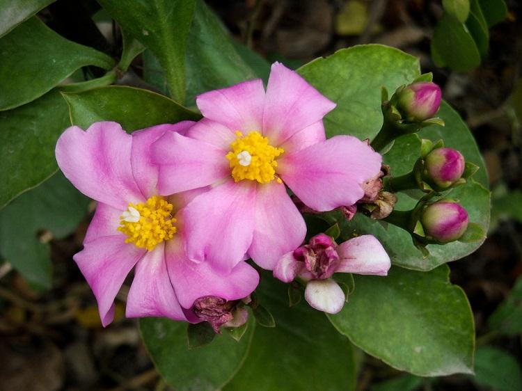 Ora-pro-nóbis é um exemplo de planta que não é normalmente consumida, apesar de suas propriedades nutricionais